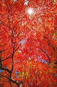 sun light through the red fall maple foliage