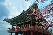 buddhist temple at Jeju Korea with sakura cherry blossoms