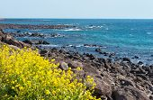 Rape flowers - symbol of Jeju-do Island of Korea
