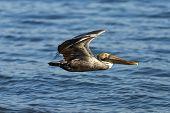 A pelican bird in flight looking for food