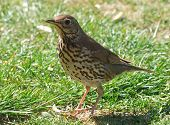 foto of brown thrush  - Close up of a friendly British Song Thrush - JPG