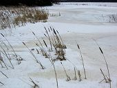 picture of bull rushes  - Bulrushes in a frozen marsh in the middle of a cold winter afternoon - JPG