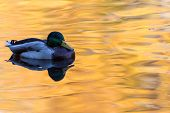 The Duck Or Drake In The City Lake Or The Pound Swimming In The Water Colored In Yellow, Red And Ora poster