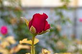 Red Roses,a Man Touches Of Red Roses, Red Rose Bud, Red Rose poster