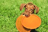 Dog Breed Standard Smooth-haired Dachshund, Bright Red Color. Dog Running With Flying Saucer. Dog Pl poster