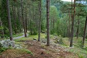 Mountain forest with footpath between the pine trees