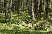 Forest detail with pine trees