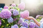 Gardening In Bushes Of Hydrangea. Girls Hand Touches Bunch In Country Garden. Flowers Are Pink, Blue poster