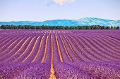 Lavender Flower Blooming Fields And Trees Row. Valensole, Provence, France.