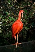 picture of scarlet ibis  - Scarlet ibis on magnolia leaves background at Oceanografic - JPG