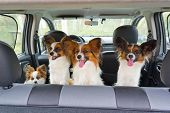 Four Papillon In Car