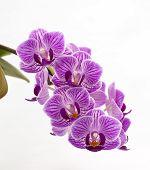 Orchidee violett