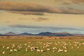 Angora Goats