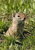 A little Ground Squirrel