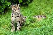 Clouded Leopard Stitting On Grass Pensive