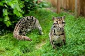 Male Clouded Leopard Posing With Female In Background