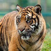 Head Shot Of Beautiful Sumatran Tiger
