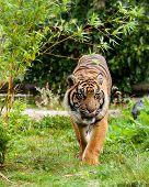 Sumatran Tiger Licking Lips