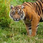 Head Shot Of Sumatran Tiger In Grass