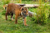 Young Sumatran Tiger Prowling Through Greenery