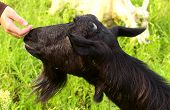 Black Goat And Child's Hand Touching Nose Care And Love To Animal Concept