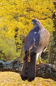 foto of goshawk  - Goshawk perched on a tree in forest - JPG