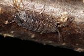 picture of woodlouse  - Adult Woodlouse on piece of wood - JPG