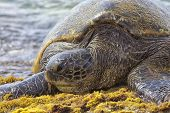 Giant Green Sea Turtle