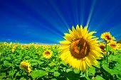 Fine Sunflowers And Fun Sun In The Sky.