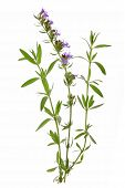 stock photo of hyssop  - Hyssop  - JPG