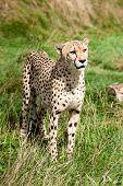 Portrait Of Cheetah Standing In Long Grass