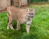 Puma Prowling Through Enclosure