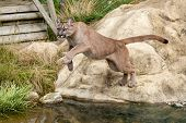 Puma Leaping Off A Rock Over Water