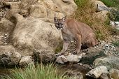 Puma Sitting On Rocks