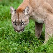 Head Shot Of Puma With Beautiful Eyes