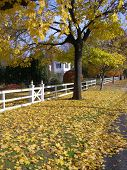 Yellow Tree White Picket Fence