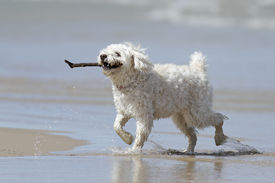 foto of cockapoo  - Small White Cockapoo on the Beach Retrieving a Stick from the Water  - JPG