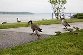 foto of mother goose  - Baby geese with their mother at a park by a river - JPG