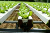 foto of hydroponics  - Hydroponic vegetables growing in greenhouse at Cameron Highlands - JPG
