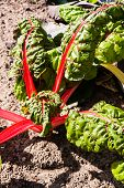 Red Chard Or Red Mangold