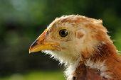 Chicken Head Close-up