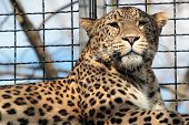 Leopard In The Cage Of A Zoo
