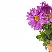 border of beautiful bouquet of pink chrysanthemum flower daisy isolated on white background
