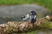 Pied Flycatcher pair