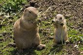 Prairie Dogs - Mother And Baby