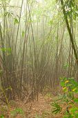 Forest thicket. Bamboo Forest in Tak Province in northwestern Thailand.