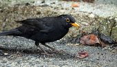 Black Blackbird Hunting With A Worm I