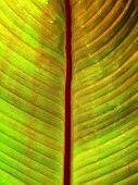 Vivid Banana Leaf