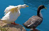 Ducks on Pond's Edge