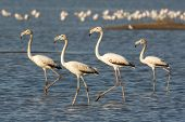 Four Greater Flamingos Wading In The Shallows
